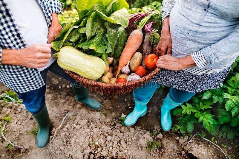Pares mayores que cultivan un huerto en el jardín del patio trasero foto de archivo