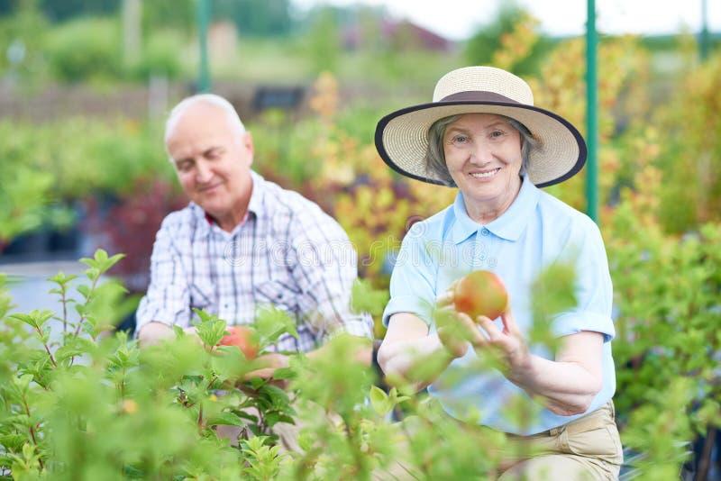 Pares mayores que cultivan un huerto en la plantación fotos de archivo