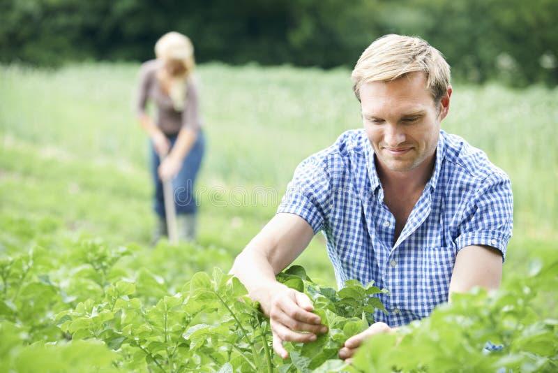 Pares que trabalham no campo na exploração agrícola orgânica foto de stock royalty free
