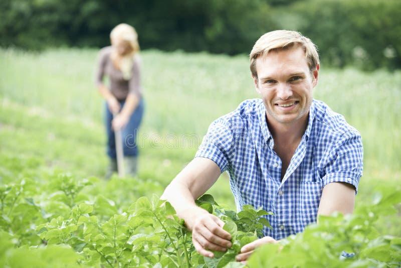 Pares que trabalham no campo na exploração agrícola orgânica fotos de stock