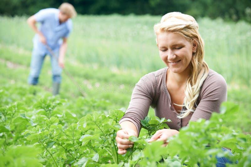 Pares que trabalham no campo na exploração agrícola orgânica imagens de stock