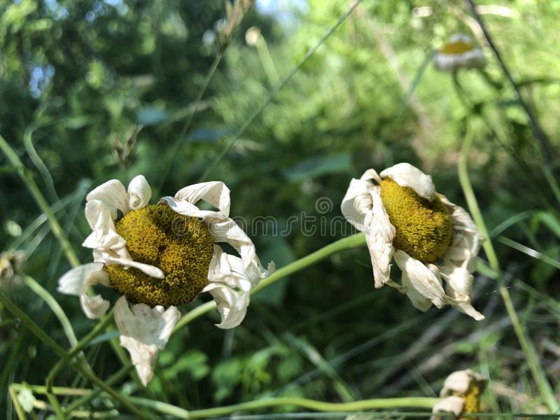 Pares rizados de flores de florecimiento foto de archivo libre de regalías