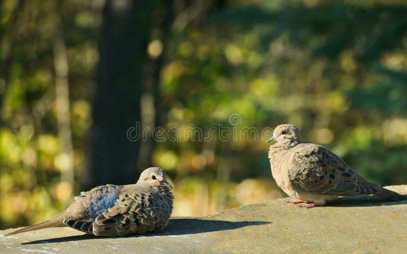 Pares románticos de macroura del zenaida de las palomas de luto o de paloma americano de la lluvia que descansa en luz del sol fotografía de archivo
