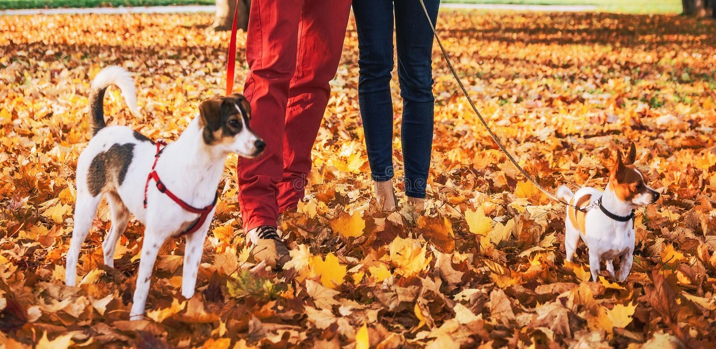 Pares románticos que caminan al aire libre en parque del otoño con los perros imágenes de archivo libres de regalías