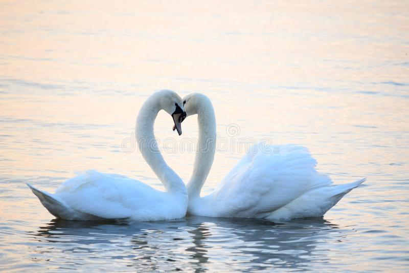Pares românticos das cisnes em águas do mar serenos foto de stock royalty free