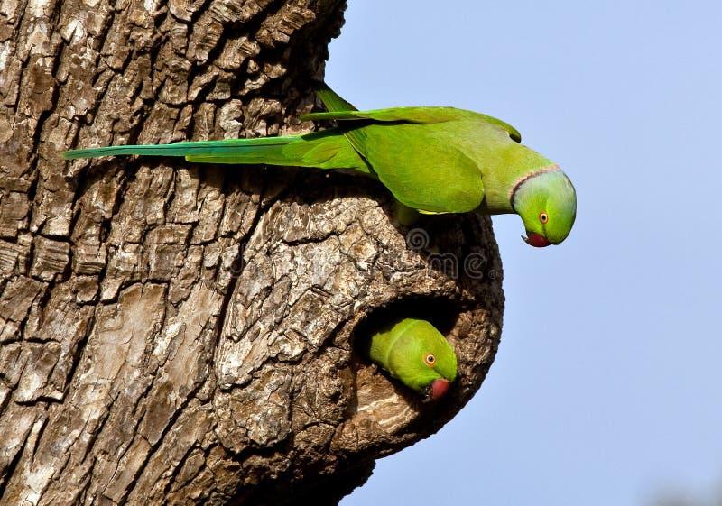 Pares Rosa-Voados do Parakeet imagens de stock