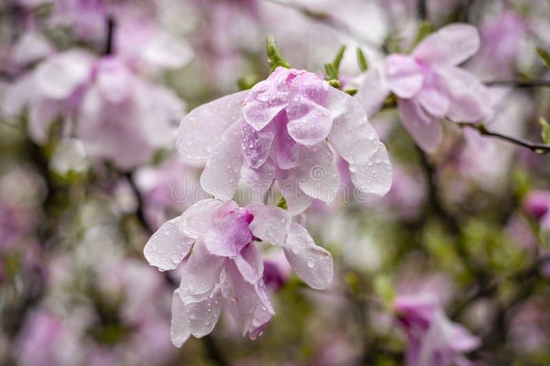 Pares rosados de la magnolia imagen de archivo