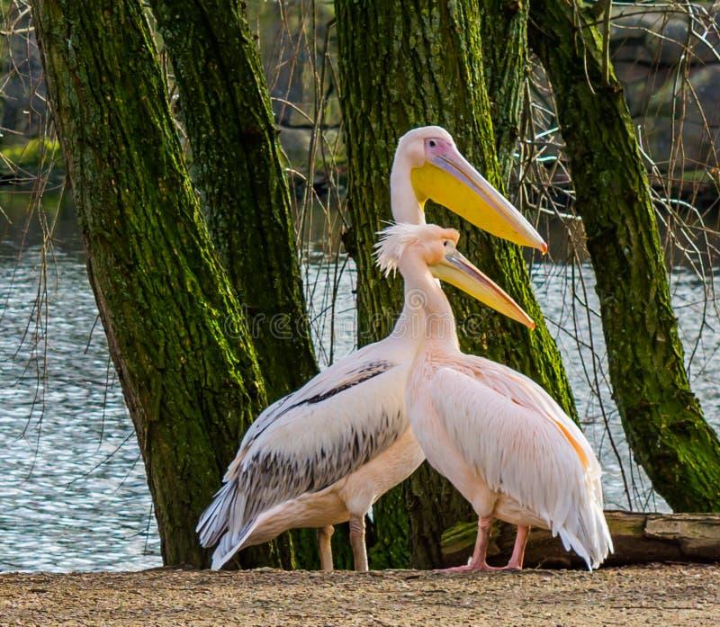 Pares rosados do pelicano que estão junto no lado da água, pares do pássaro imagem de stock