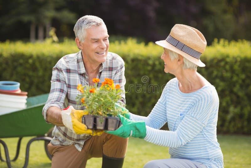 Pares sênior que jardinam junto imagem de stock
