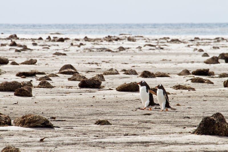 Pares sós de pinguins de Gentoo fotos de stock