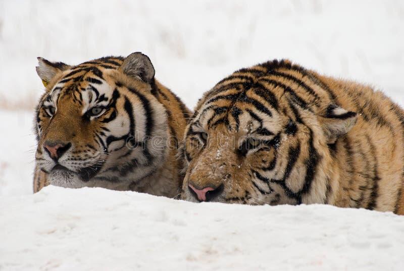 Pares siberianos del tigre foto de archivo