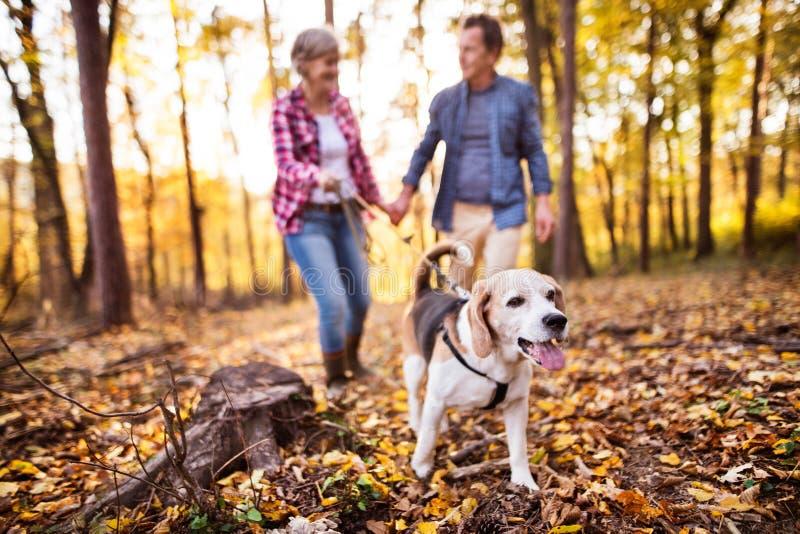 Pares superiores com cão em uma caminhada em uma floresta do outono imagem de stock royalty free