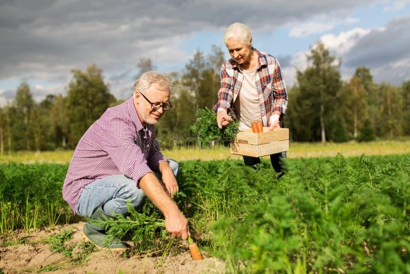 Pares superiores com a caixa das cenouras na exploração agrícola imagens de stock royalty free