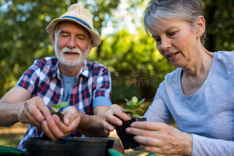 Pares superiores que jardinam no jardim fotografia de stock royalty free