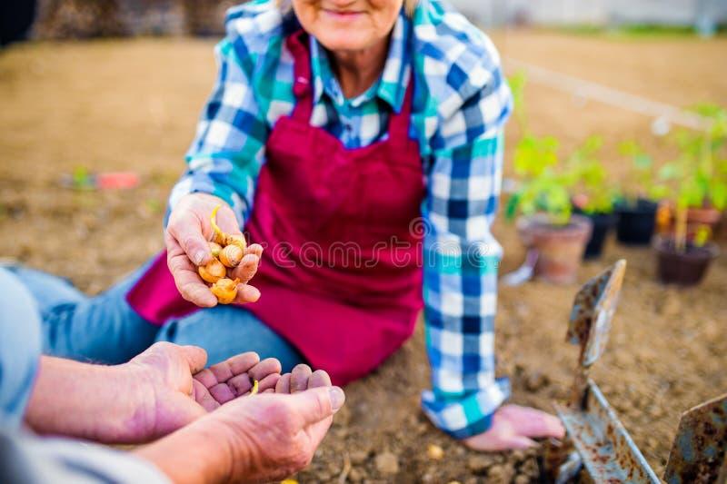 Pares superiores que plantam cebolas em seu jardim no solo imagens de stock