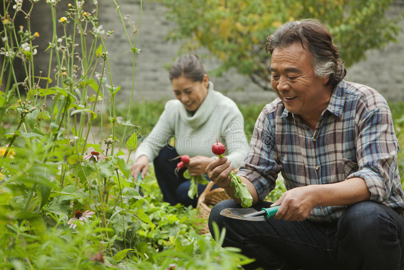 Pares superiores que sorriem e que escolhem vegetais no jardim imagem de stock