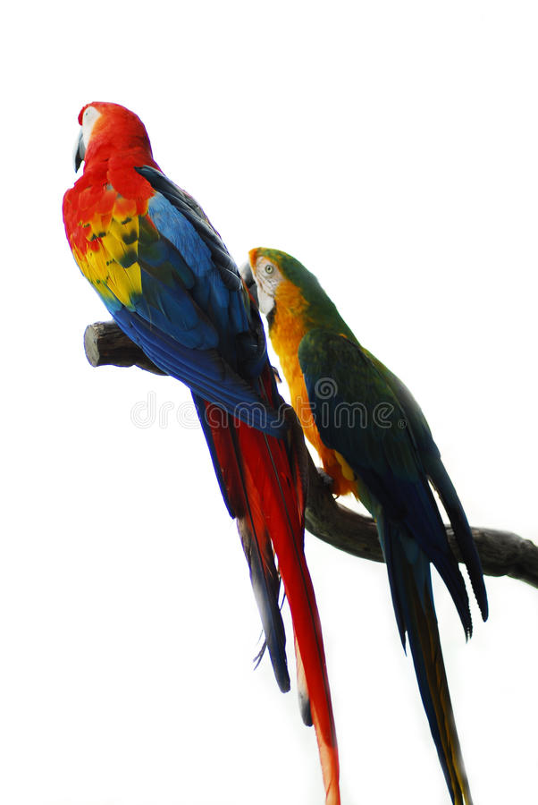 Pares vermelhos dourados do pássaro do Macaw foto de stock