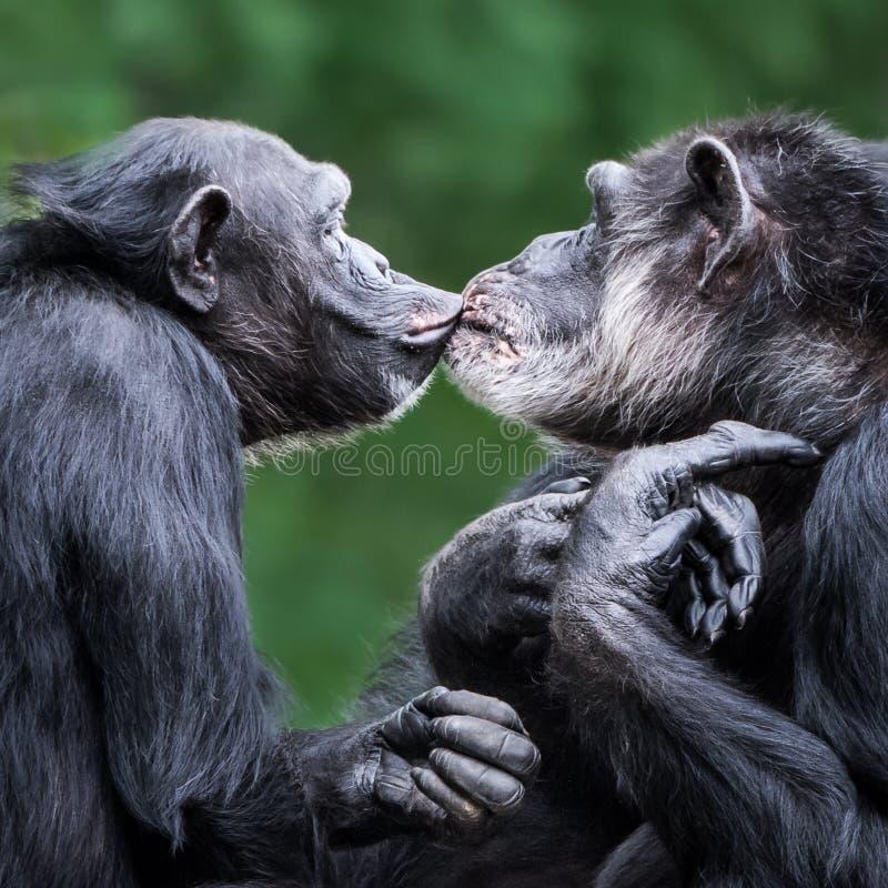 Pares VI del chimpancé imágenes de archivo libres de regalías