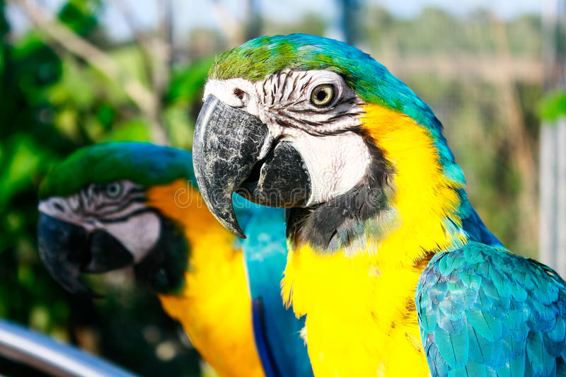 Paret av araruanaen för blått-och-guling aramunkhättor mekaniskt säga efter sittande a arkivbild