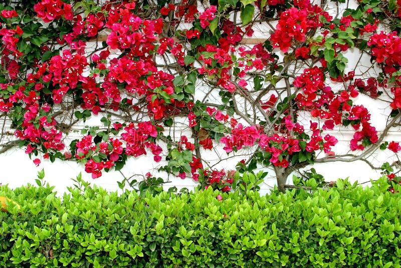 Parete bianca in Spagna con Bouganvillia rosso variopinto che salgono e una barriera verde qui sotto. immagini stock libere da diritti
