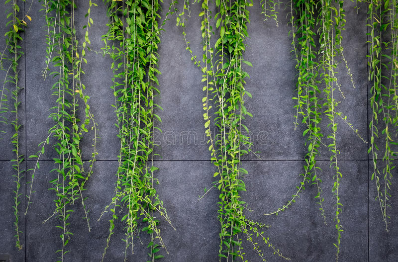 Parete del marmo o del muro di cemento e piante ornamentali o albero del giardino o dell'edera immagini stock libere da diritti