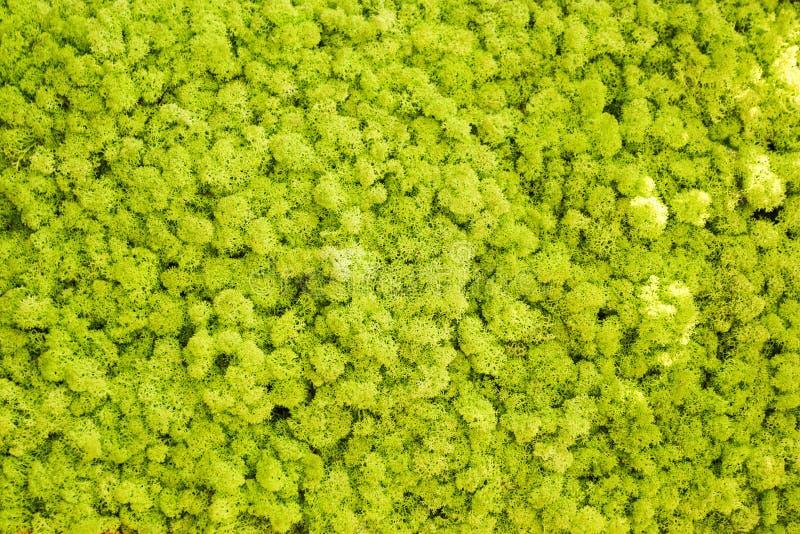Parete del muschio di renna, decorazione verde della parete composta del rangiferina di cladonia del lichene di renna, utilizzabi fotografia stock