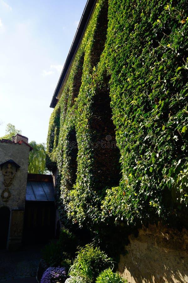 Parete dell'edera su costruzione antica e su alcune finestre fotografia stock