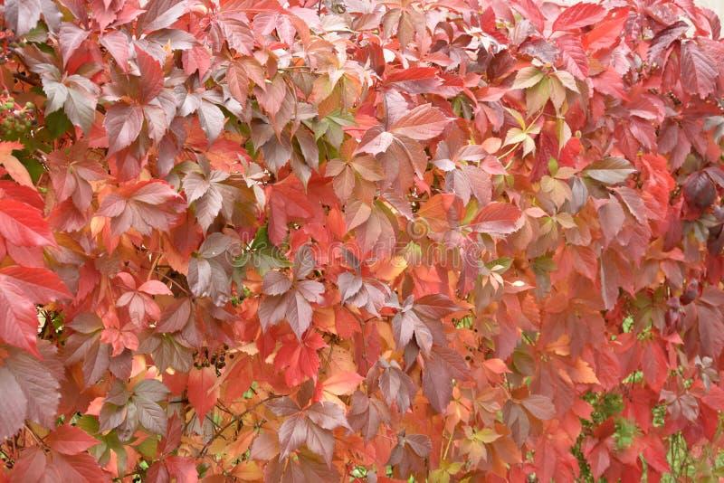 Parete dell'uva nubile le foglie rosse immagini stock