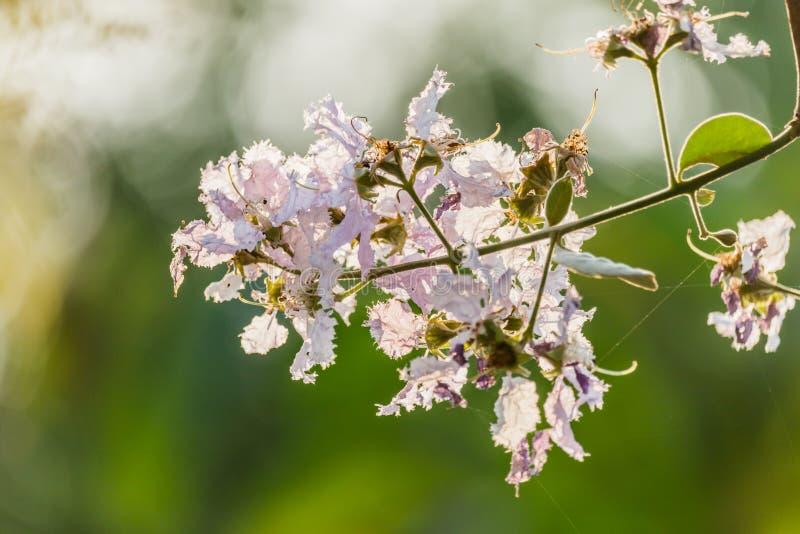 Parete di macrocarpa di Lagerstroemia del fiore del ` s della regina bella o porpora fotografie stock