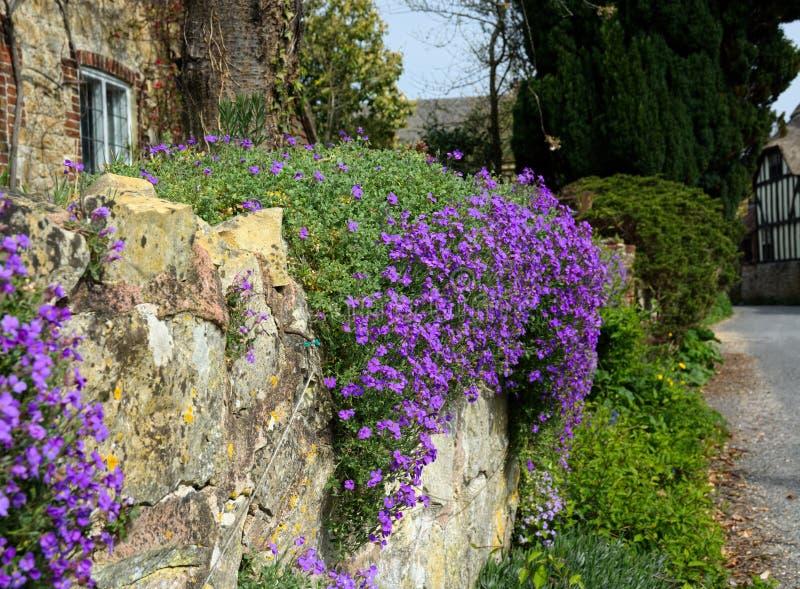 Parete di pietra con le piante reali di Aubrieta o della viola fotografia stock