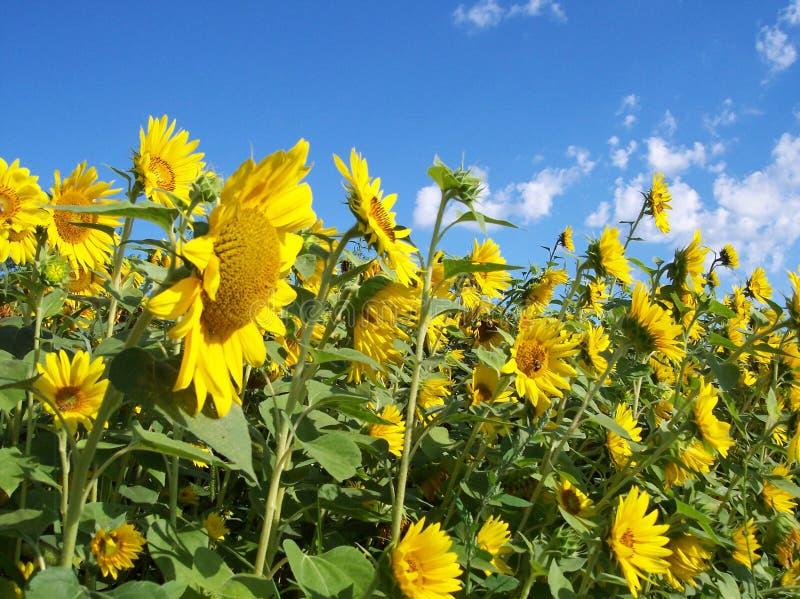 Download Parete di Sunflowers2 immagine stock. Immagine di fiore - 207575