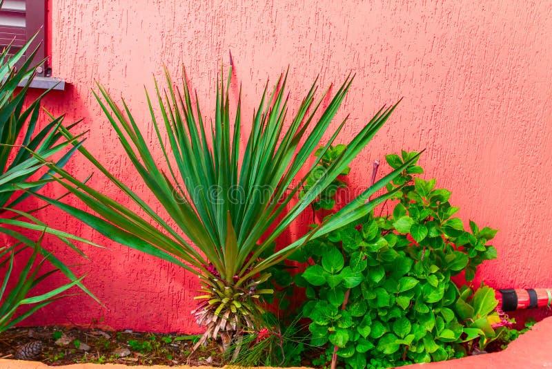 parete rossa tropicale del cortile con le palme fotografia stock