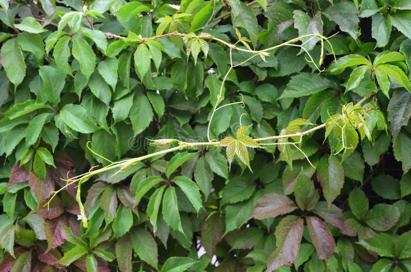 Parete verde Pianta del Parthenocissus immagini stock libere da diritti