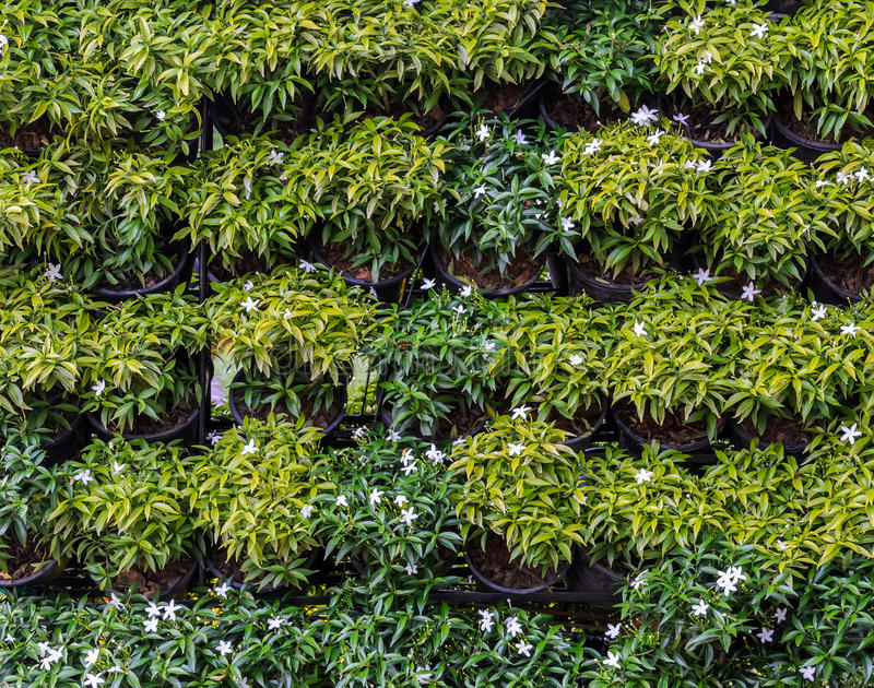 Parete verticale del giardino floreale fotografia stock - Gardenia pianta da giardino ...