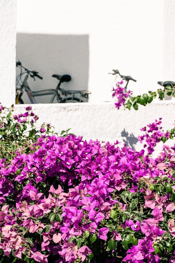 Pareti bianche e buganvillea rosa fotografia stock libera da diritti