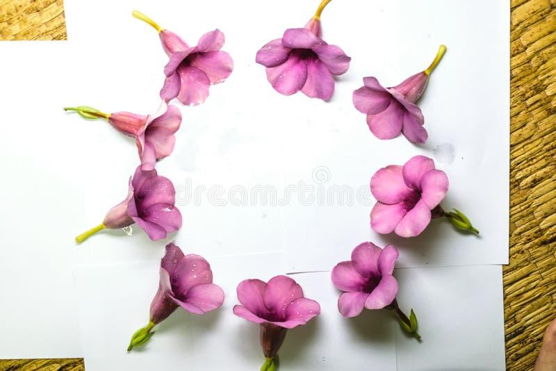 Parfüm von Allamanda Cathartica-Blume lokalisiert stockfoto