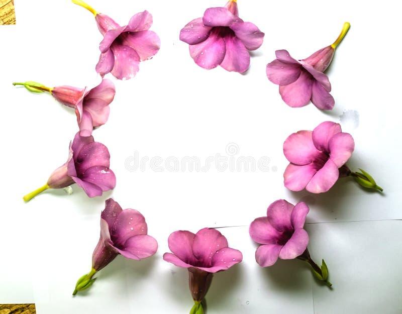 Parfüm von Allamanda Cathartica-Blume lokalisiert lizenzfreies stockbild