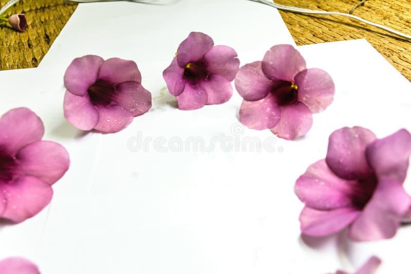 Parfüm von Allamanda Cathartica-Blume lokalisiert stockbild