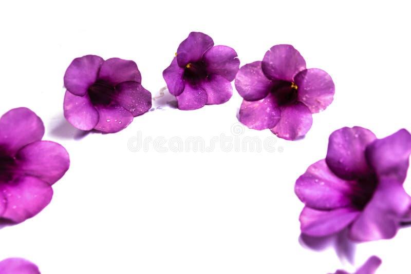 Parfüm von Allamanda Cathartica-Blume lokalisiert stockfotografie