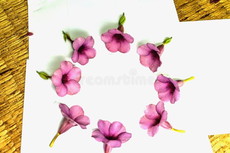 Parfüm von Allamanda Cathartica-Blume lokalisiert stockbilder