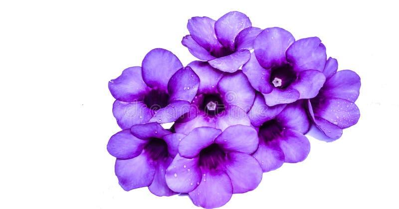 Parfüm von Allamanda Cathartica-Blume lokalisiert lizenzfreie stockbilder