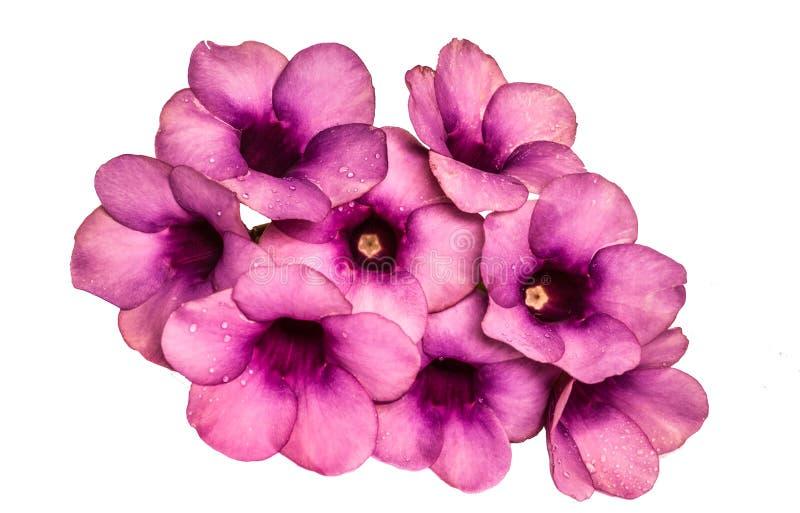 Parfüm von Allamanda Cathartica-Blume lokalisiert lizenzfreie stockfotografie