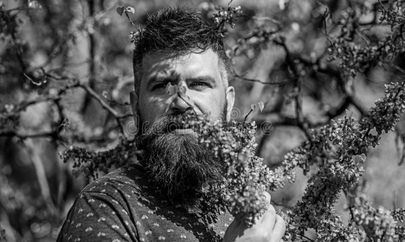 Parfümerie und Duftkonzept Bärtiger Mann mit neuem Haarschnitt schnüffelt Blüte von judas Baum Mann mit Bart und dem Schnurrbart lizenzfreies stockbild