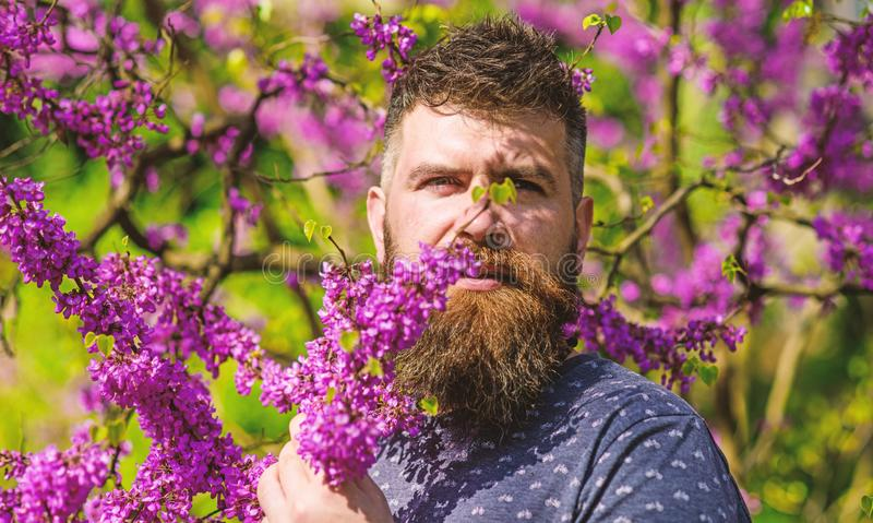Parfümerie und Duftkonzept Bärtiger Mann mit neuem Haarschnitt schnüffelt Blüte von judas Baum Mann mit Bart und dem Schnurrbart stockbild