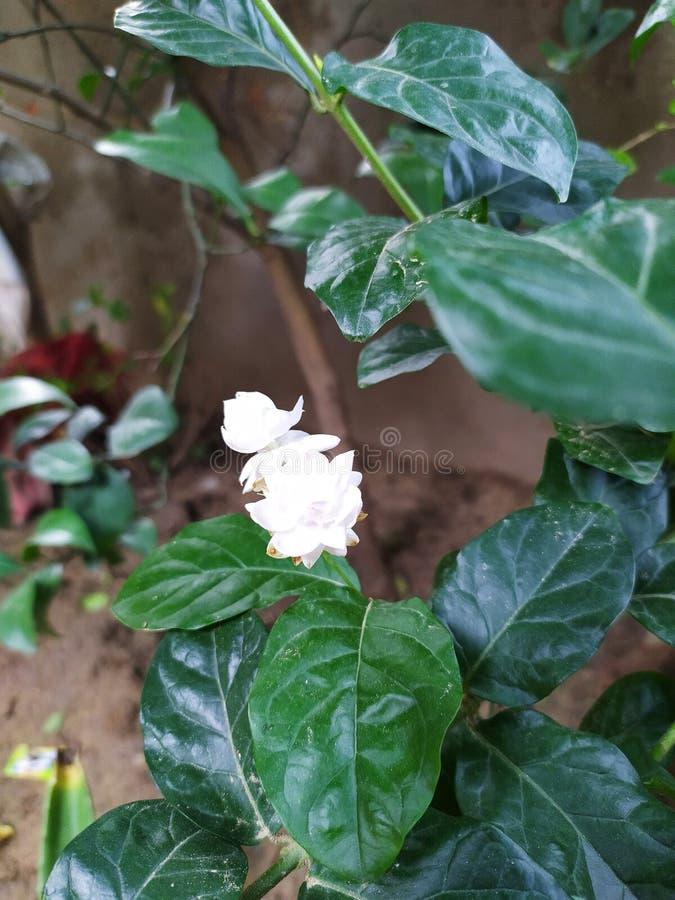 Parfum et beauté de propagation de fleur de jasmin tout autour photos libres de droits