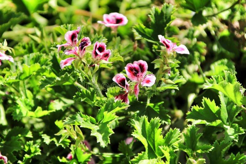 Parfymerad pelargonpelargonia Crispum i trädgården royaltyfria foton