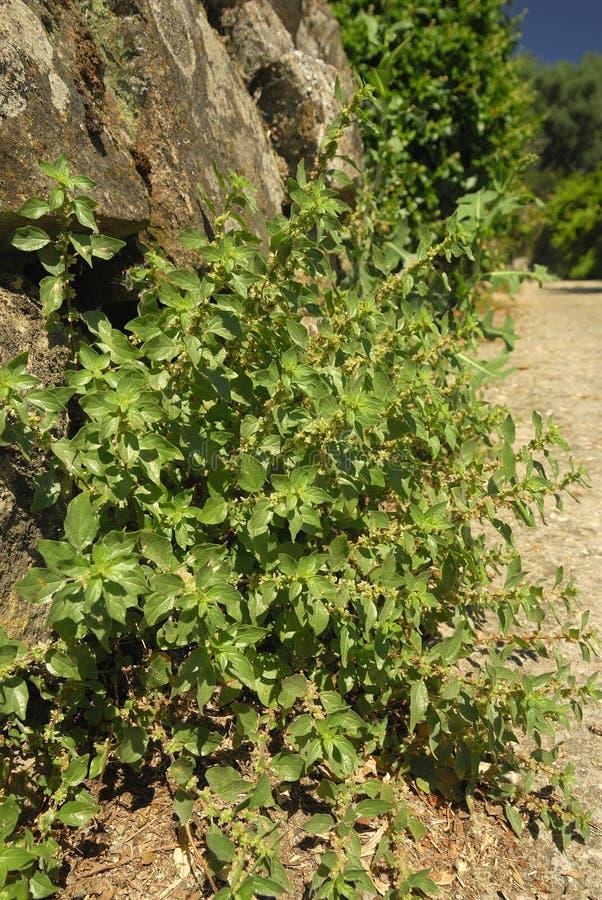Parietaria judaica, Allergens Plants stock photos