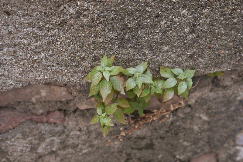 Parietaria judaica plants stock photo