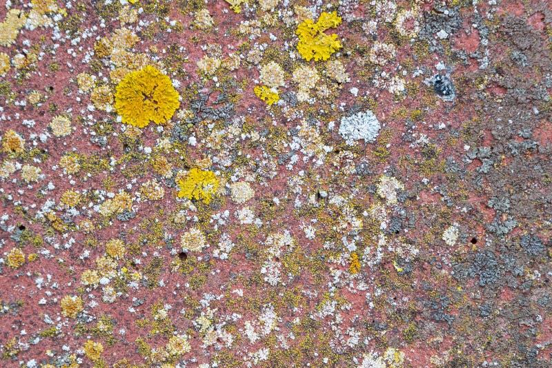 Parietina de Xanthoria, elegans, líquene alaranjado, escala amarela, líquene sunburst marítimo e líquene da costa em uma parede d foto de stock royalty free