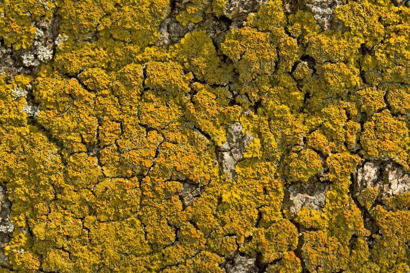 Parietina di Lichen Xanthoria sulla corteccia del pino immagine stock